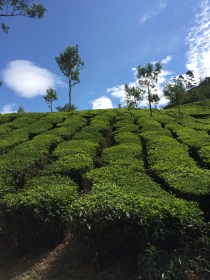 Rows of 200 Year Old Tea Plants